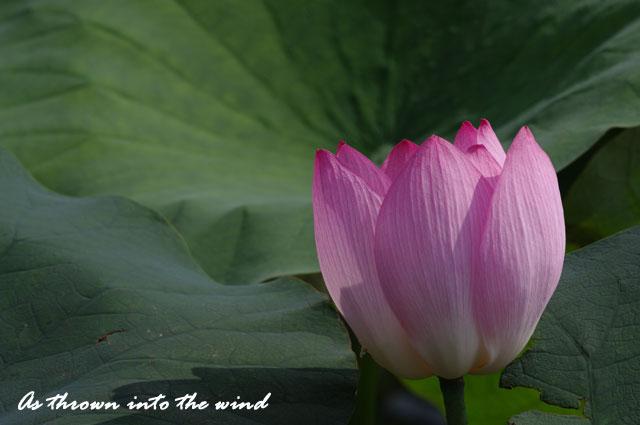 花の文化園 蓮の花3