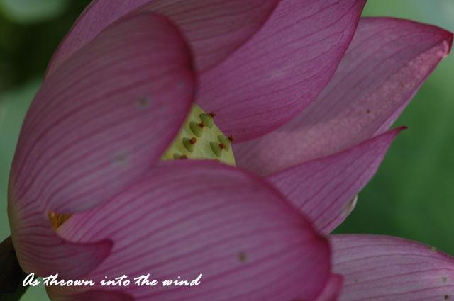 花の文化園 蓮の花5