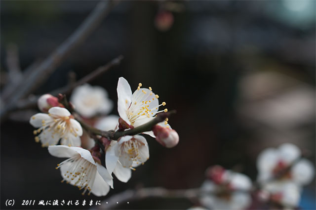 神戸・北野天満神社梅1