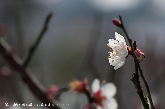 神戸・北野天満神社梅3