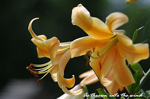 花の文化園 オラニア1