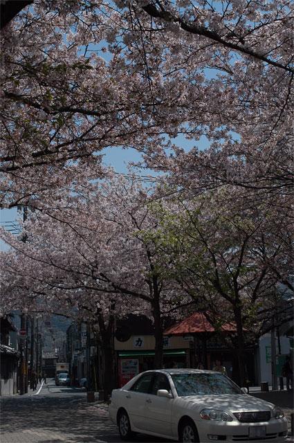 京都祇園周辺の桜