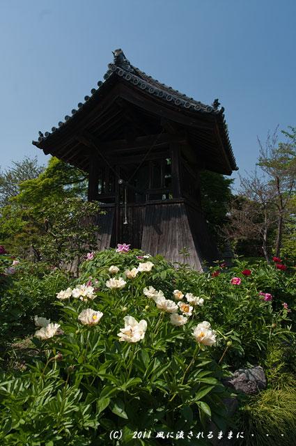 奈良・石光寺 牡丹3
