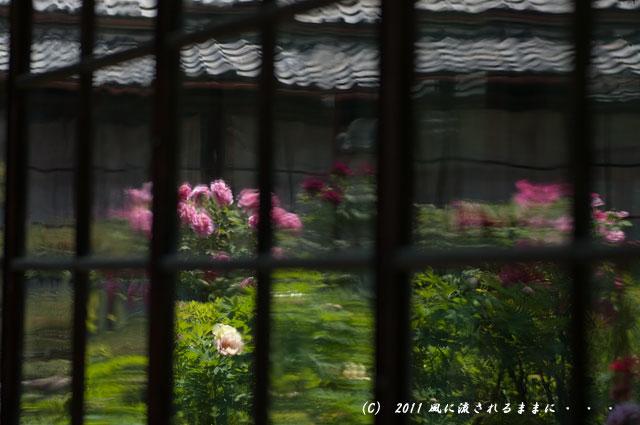 奈良・石光寺 牡丹6