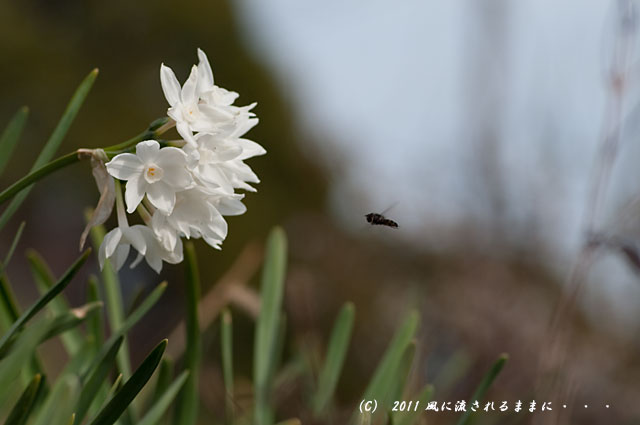 北野天満神社水仙と蜂