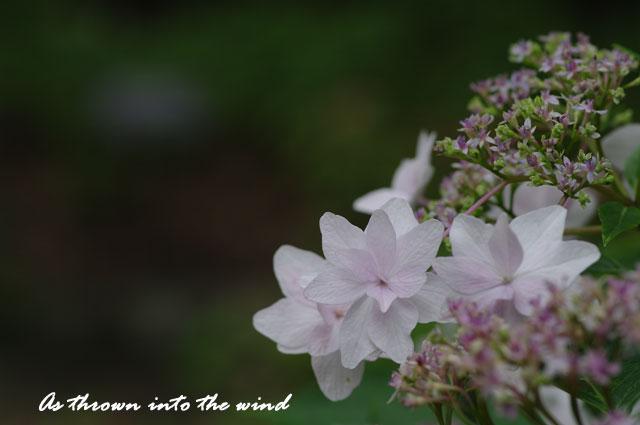 紫陽花 墨田の花火