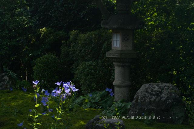 京都・天得院 桔梗の花1