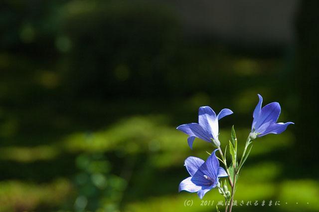 京都・天得院 桔梗の花2