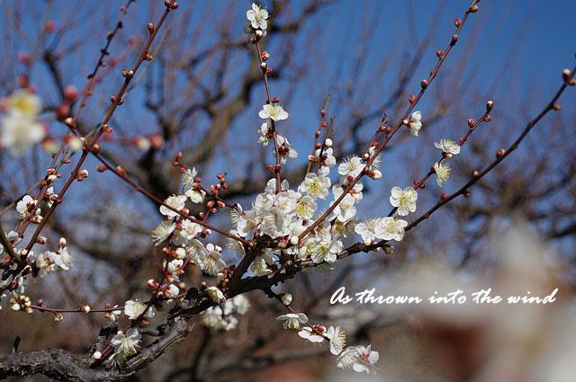 大阪城梅林 梅の花