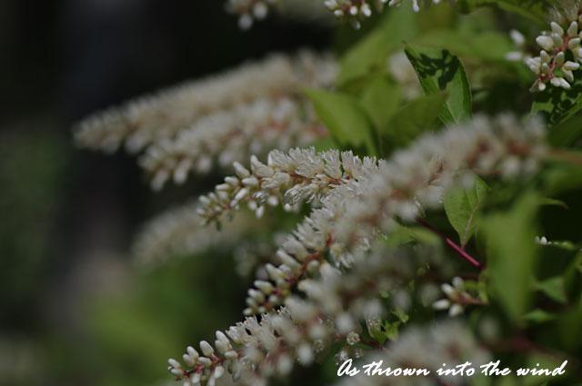 小さくて白い花2