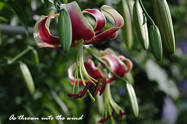 花の文化園 ユリ シエラザード1