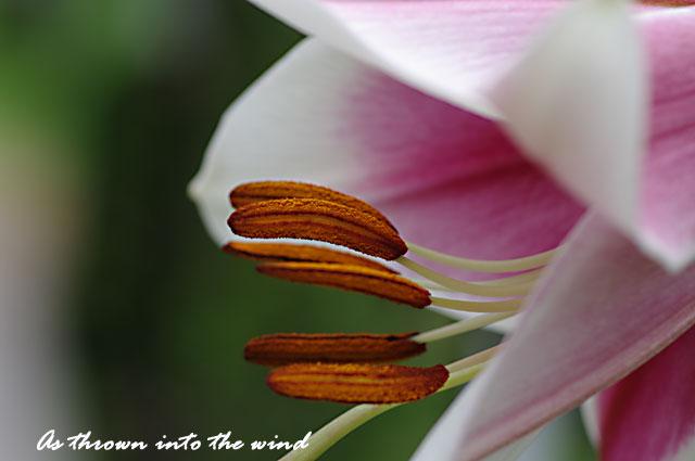 花の文化園 ユリ シルクロード1