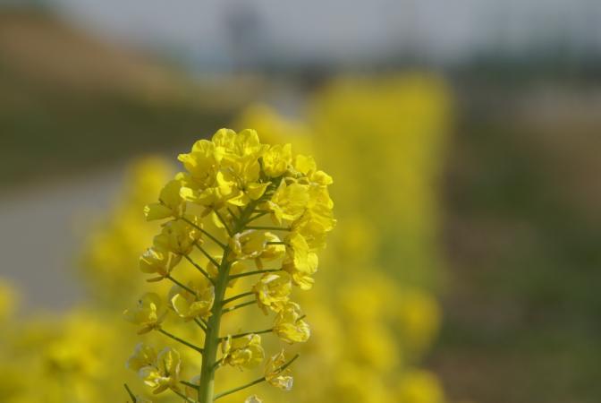 DSC01203菜の花