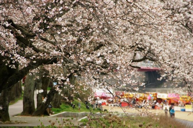 DSC024001桜祭り