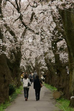 DSC02357桜祭り