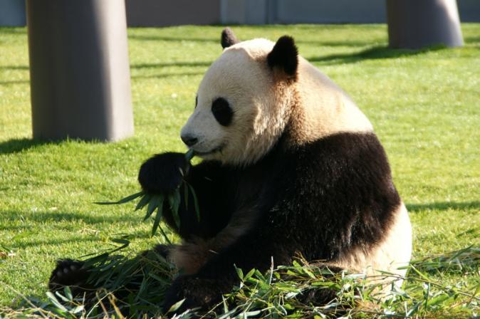 DSC01867パンダ