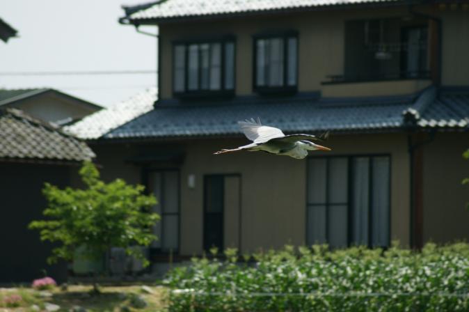 DSC04824白鷺