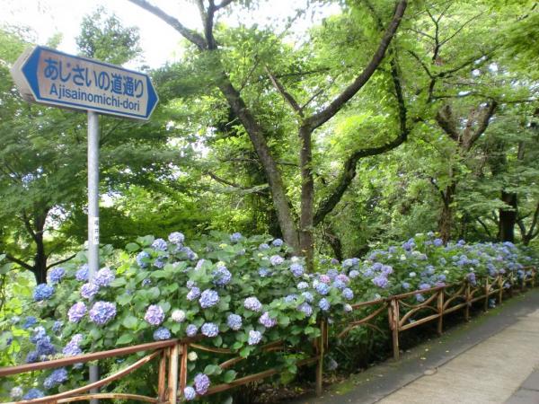 CIMG0684紫陽花足羽山
