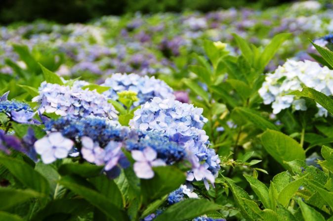 DSC05913瓜割りの滝紫陽花