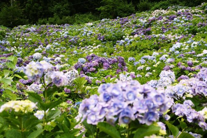 DSC05897瓜割りの滝紫陽花