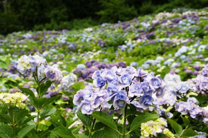 DSC05893瓜割りの滝紫陽花