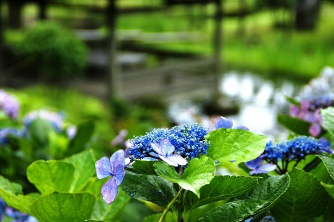 DSC05859瓜割りの滝紫陽花