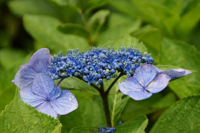 DSC05855瓜割りの滝紫陽花