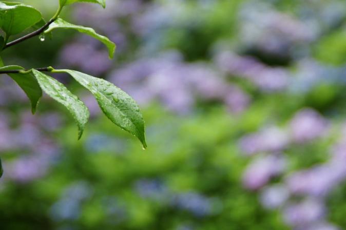 DSC05849瓜割りの滝紫陽花