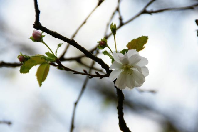 DSC08246十月桜