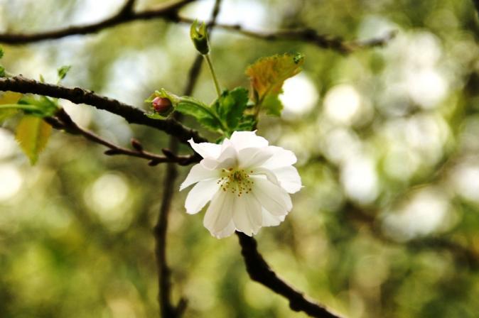 DSC08235十月桜