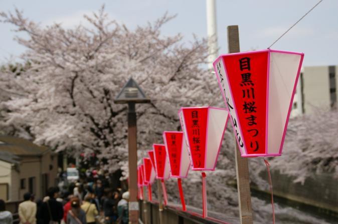 DSC01396目黒川桜