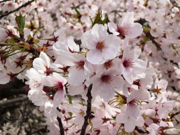 CIMG1564目黒川桜