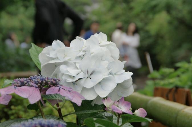 DSC03330白い紫陽花