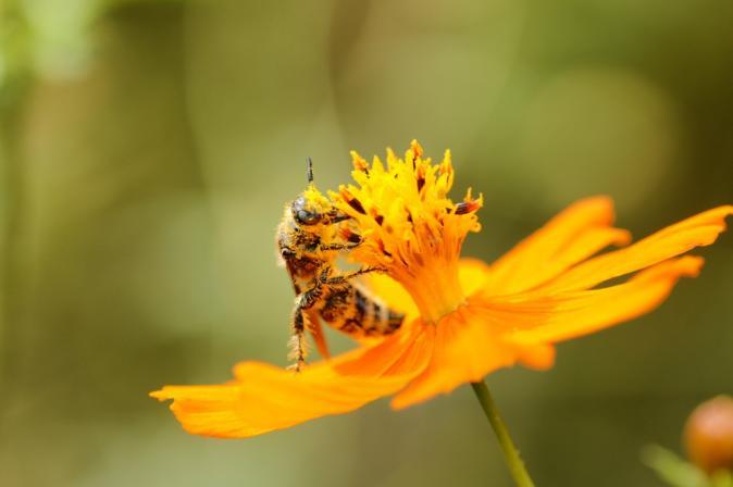 DSC07295花粉蜂