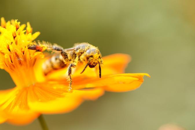 DSC07302花粉蜂