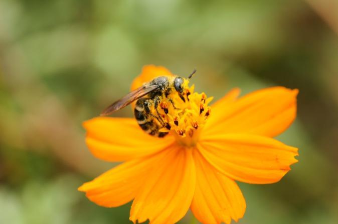 DSC07287花粉蜂