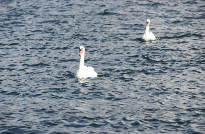 DSC08621アヒルと白鳥