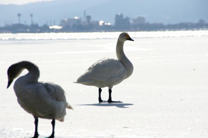 DSC01527白鳥