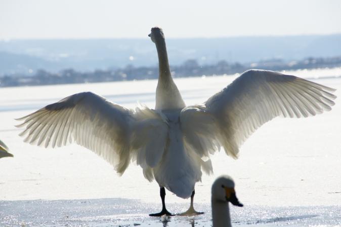 DSC01510白鳥
