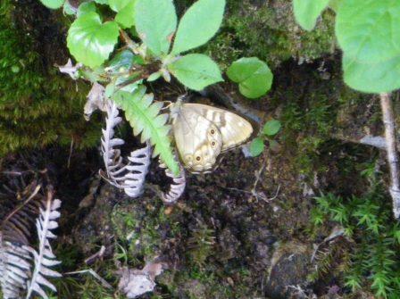 ヒメキマダラヒカゲ
