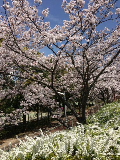 神戸ライフ:2013.4.4 桜