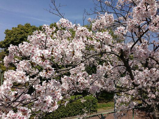 神戸ライフ:2013.4.4の桜