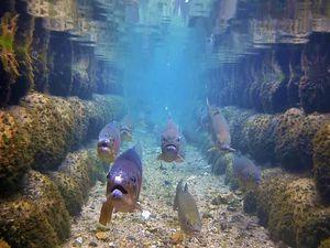 合掌集落内の用水で泳ぐニジマス