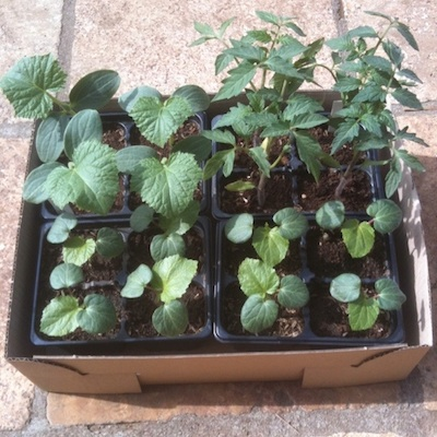 家庭菜園 苗