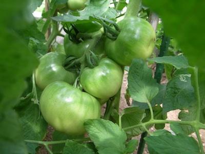 トマト20110706 2