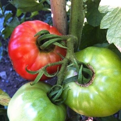 トマト10716