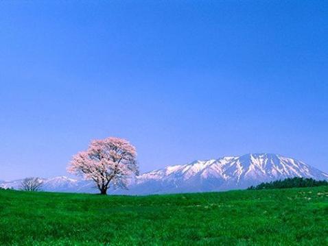 小岩井 一本桜