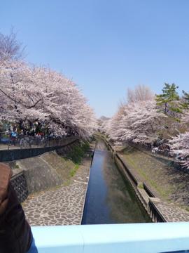 善福寺川の桜2012