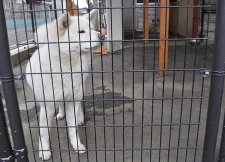秋田犬博物館秋田犬