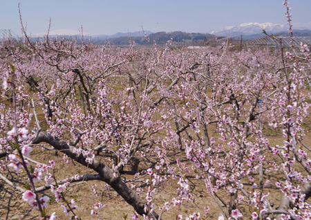 桃の花と月山葉山低解像度